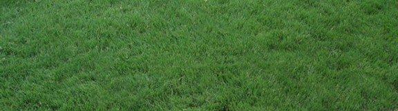 Turf-type Buffalo Grass