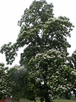 Record Catalpa Tree- Over 70 ft Tall and 70 ft. Wide