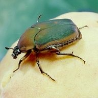 Adult Green June Beetle