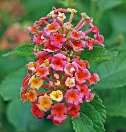 Lantana Confetti Blooms All Summer