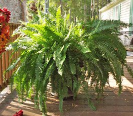 Large Container-Grown Fern