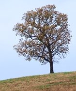 Lone Oak Tree on a Hill
