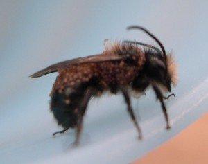 Pollen Mites on a Mason Bee