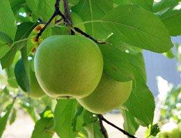 Apples Growing in Missouri