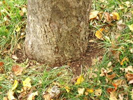 Apple Tree Showing No Root Flare