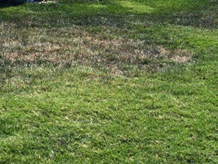 Drought Resistance of Bermudagrass Compared to Fescue