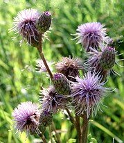 Canada Thistle Purple Flower