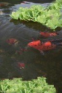 Koi Fish in a Garden Pond