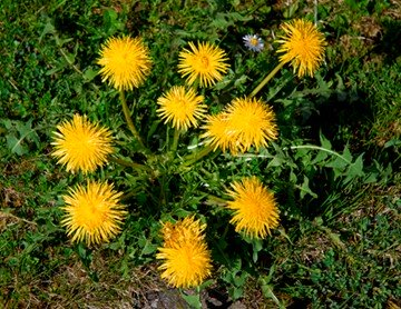Dandelion Leaves and Yellow Flowers
