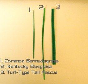 bermudagrass, bluegrass, fescue leaf blade comparison