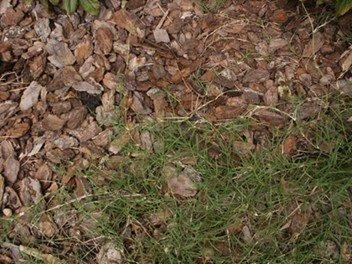 Bermudagrass Spreading into Planter