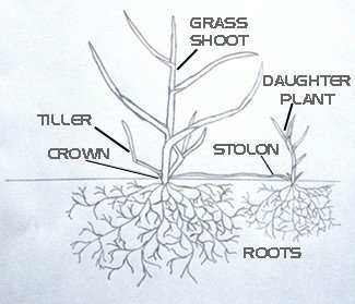 Plant Structure of Lawn Grass