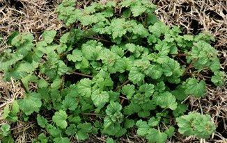 Henbit Winter Annual Lawn Weed