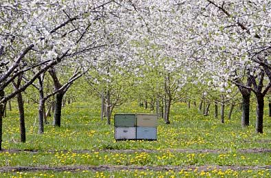 Honeybees in an Orchard
