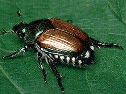 Adult Japanese Beetle