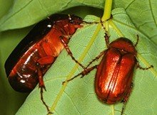 Adult May/June Beetles
