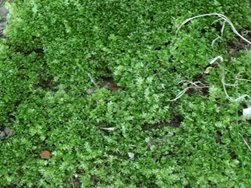 Moss Growing in Lawn