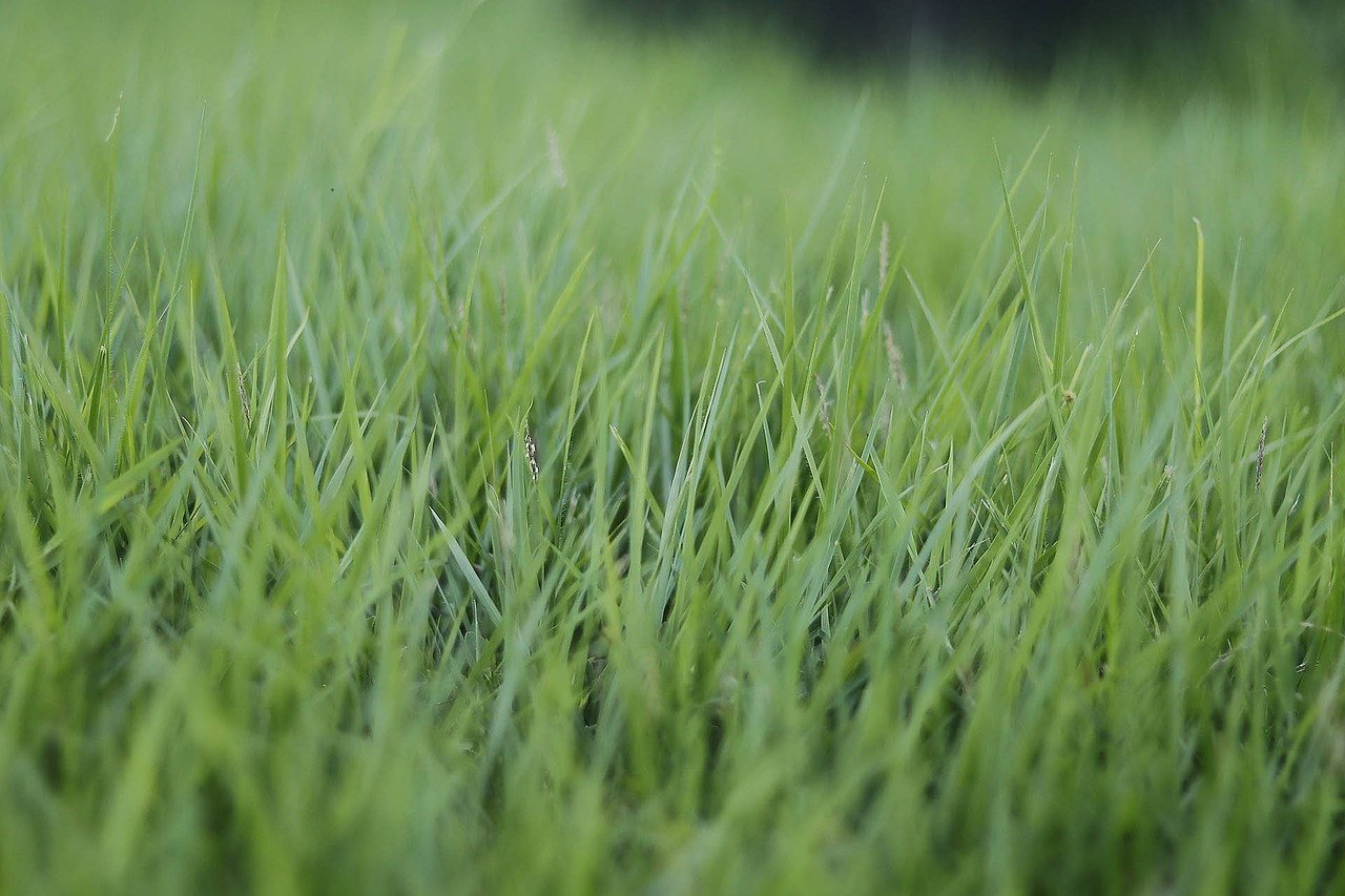 Lovely Thin Bladed Lawn Grass