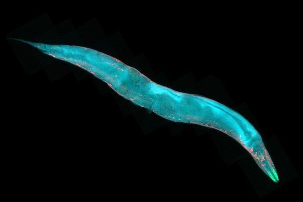 A Nematode Found in Tropical Regions