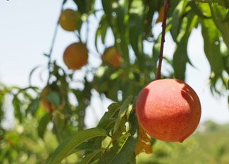 A Peach Tree on the Bader's Farm in Missouri