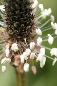 Buckhorn Plantain Seed Head