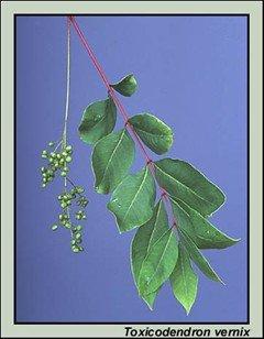 Poison Summac Branch