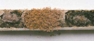 Pollen Mites Inside a Nesting Tube
