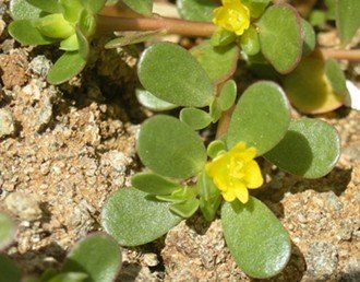 Common Purslane Lawn Weed