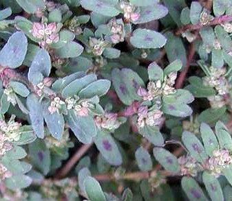 Spotted Spurge Summer Annual Lawn Weed