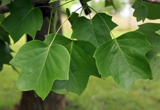 Tulip Poplar with Healthy Leaves