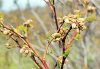 Unopened Blueberry Blossoms