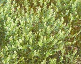 Virginia Pepperweed