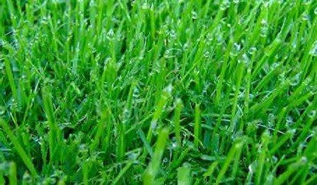 Turf Type Tall Fescue Lawn