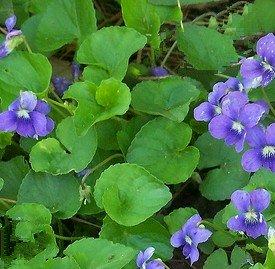 Wild Violet Lawn Weed