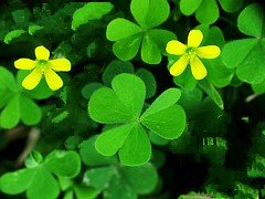 Yellow Woodsorrel Summer Annual Lawn Weed