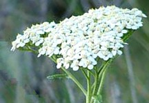 Common Yarrow Flower Cluster