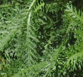 Common Yarrow Fern-Like Leaves